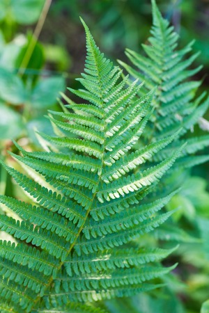 chlorophyl: fern leaf in summer time. beautiful nature background Stock Photo