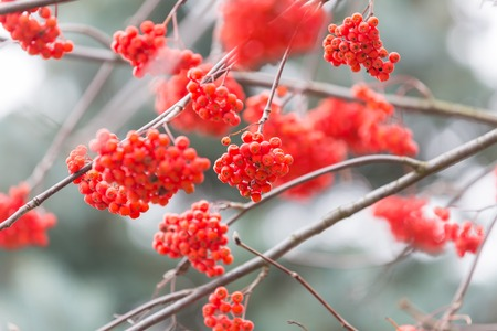 european rowan: Red rowan berries on withered branch at autumnal cloudy weather. Beautiful nature close up. Useful as background. Stock Photo