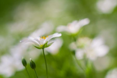 cerastium tomentosum: Beautiful close up of blooming chickweed flowers, springtime flowers