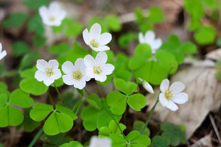 oxalidaceae: Blooming sorrel flowers at springtime. White flowers background Stock Photo