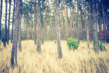 scarry: Landscape of autumnal pine forest. Photo with vintage mood effect