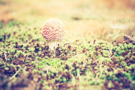 Beautiful red autumnal toadstool (amanita muscaria) close up. Photo with vintage mood effect photo
