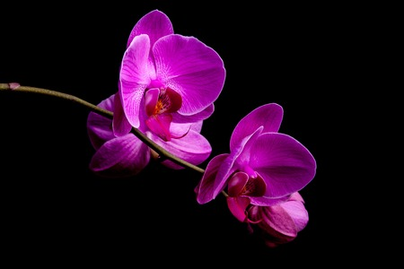Orchid flowers isolated on black background. Beautiful nature background photo