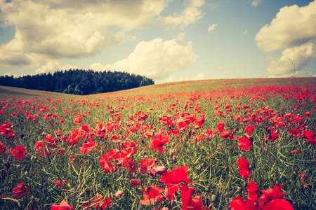 Beautiful blooming poppy field landscape. photo with vintage mood effect photo