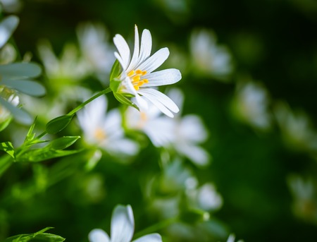 cerastium tomentosum: Beautiful close up of blooming chickweed flowers, springtime flowers
