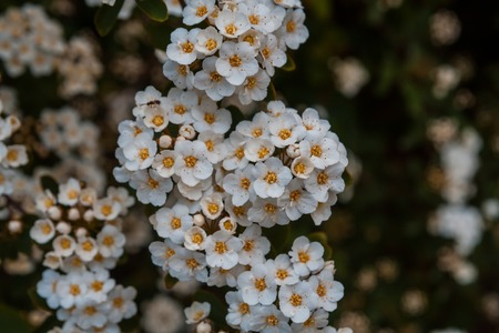 Beautiful blooming hawthorn tree in springtime. White flowers background photo