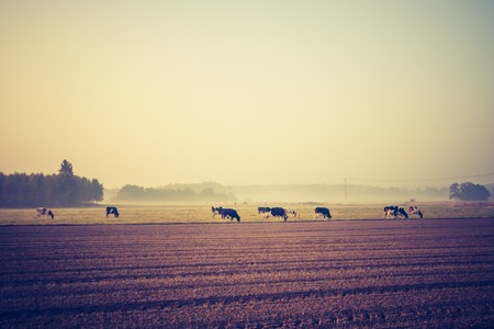 Beautiful morning landscape of pasture with cows. Photo with vintage mood effect photo