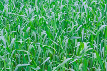 close up of beautiful green young cereal field at early summer Zdjęcie Seryjne
