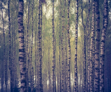 lomography: Beautiful birch forest landscape photographed at autumn. Photo with vintage mood effect. Stock Photo