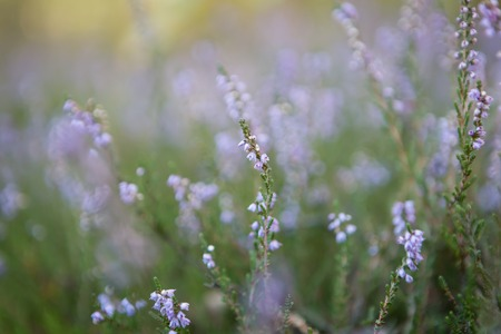 erica: Beautiful blooming heather flowers in sunlight close up. Polish autumnal forest flowers.