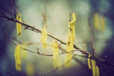 corylus: Hazel catkins - Corylus avellana in early spring closeup, highly allergenic pollen. photo with vintage mood.