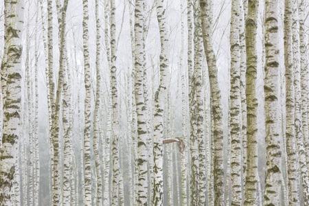 campagne rural: For�t de bouleaux Frosty en hiver. Paysage rural polonais. Close up de bouleau troncs d'arbres