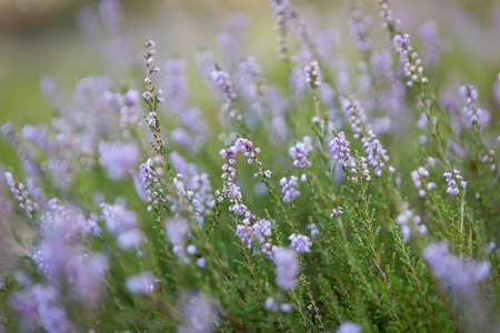 Beautiful blooming heather flowers in sunlight close up. Polish autumnal forest flowers. photo