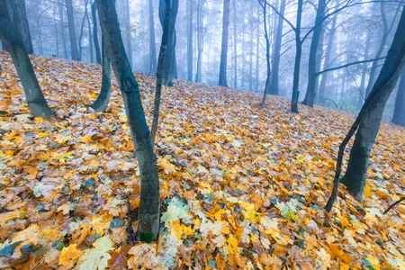 Beautiful autumnal landscape of foggy forest with fallen leaves and old tree trunks. Late autumn in polish forests. Tranquil colorful scene. photo