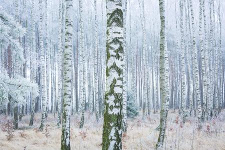 Frozen birch forest landscape. Early winter landscape with frost on birch trees. photo
