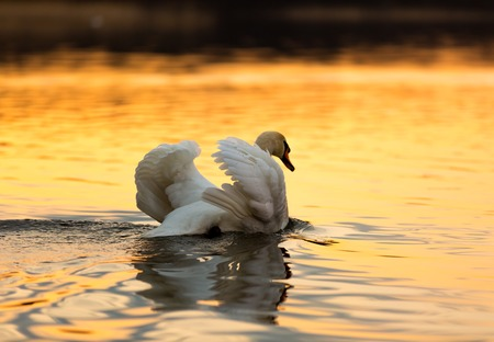 Beautiful sunset or sunrise lake with swan. Mazury lake district landscape with beautiful swan. Nature photography calm scene with golden light. photo