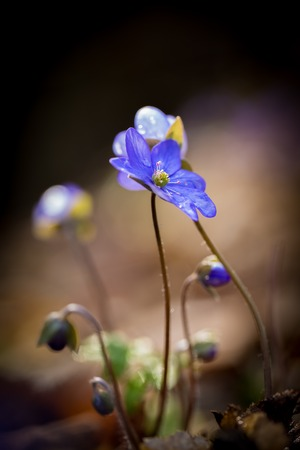 nobilis: Beautiful springtime liverworts (Hepatica nobilis) flowers. First flowers blooming in spring forest in march or april. Polish forest flowers. Stock Photo