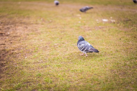 pidgeon: pidgeon resting on lawn. bird sitting on ground