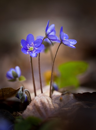 nobilis: Beautiful blue springtime liverworts (hepatica nobilis) photographed in spring polish forest