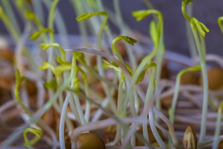 water cress: Lentil sprouts growing. Close up of very young lentil plants. Healthy food studio shot. Stock Photo