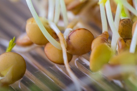 beansprouts: Lentil sprouts growing. Close up of very young lentil plants. Healthy food studio shot. Stock Photo