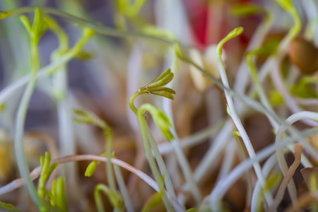 Lentil sprouts growing. Close up of very young lentil plants. Healthy food studio shot. photo