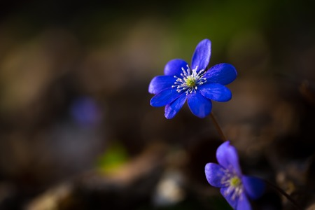 nobilis: Beautiful blue springtime liverworts (hepatica nobilis) photographed in spring polish forest