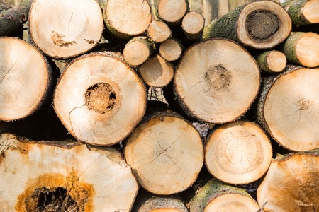 tree felling: Felling in forest. abstract background of pilled tree trunks.