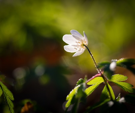 Beautiful white springtime anemones flowers. First springtime flowers blooming in forest. photo