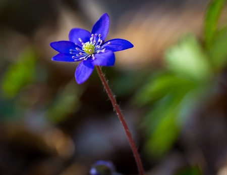 Beautiful blue springtime liverworts (hepatica nobilis) photographed in spring polish forest photo