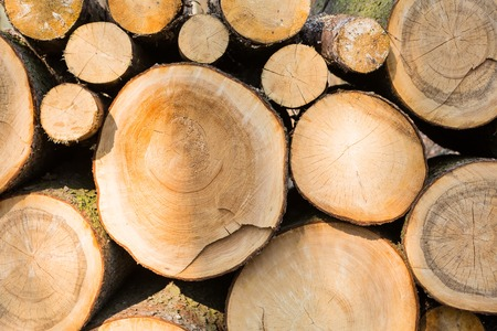 felling: Felling in forest. abstract background of pilled tree trunks.