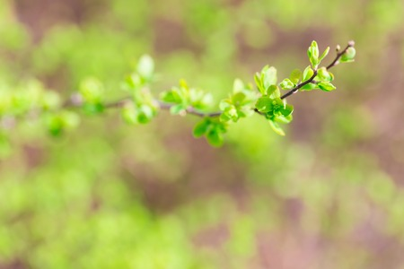 Close up of hedge plant. Springtime bush with fresh young green leaves photo