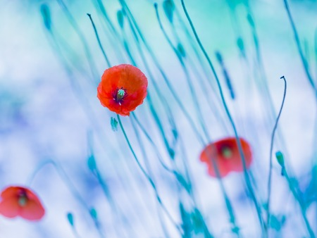 Beautiful poppy flowers with blue mood. Close up of red flowers. photo