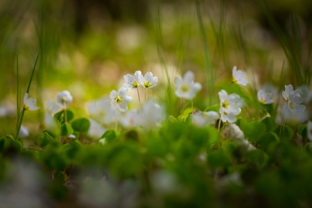 wood sorrel: Beautiful small flowers of wood sorrel blooming in early springtime in forests. Stock Photo