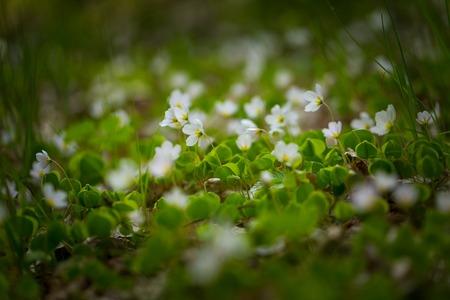 oxalidaceae: Beautiful small flowers of wood sorrel blooming in early springtime in forests. Stock Photo