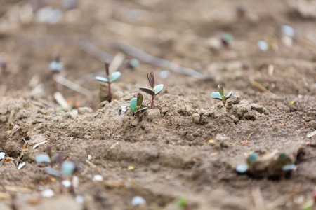 close up: Sprouts of buckwheat. Close up of growing small buckwheat - photographed in may. Stock Photo