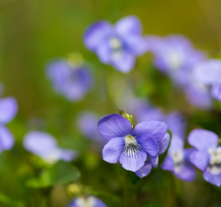 violets: Beautiful wild violets photographed in forest in may. Close up of wildflowers Stock Photo
