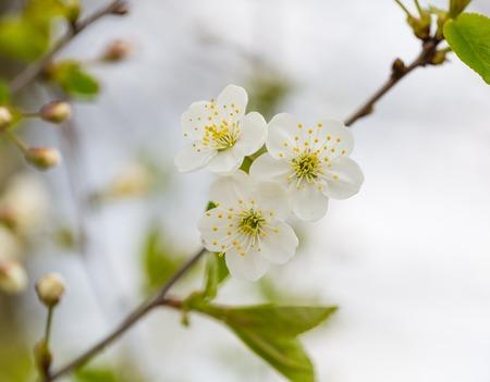 fruit tree: Beautiful white flowers of cherry tree. Close up of fruit tree branch with flowers.