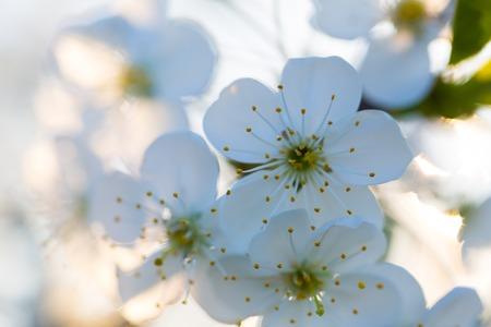 arbre fruitier: Belles fleurs blanches de cerisier. Close up de fruits branche d'arbre avec des fleurs.