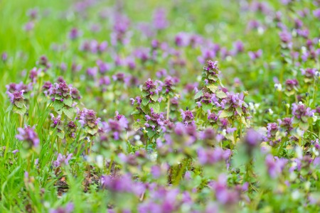 herbe: Bugle weed blooming. Close up of wild flowers blooming on field. Stock Photo
