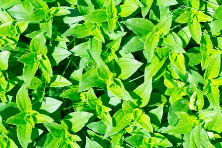 Soapwort (Saponaria officinalis) green leaves background. Nature green leaves pattern photo