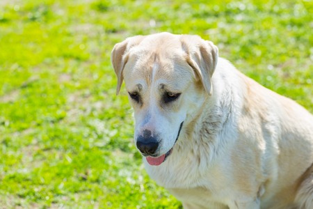 Big dog portrait. Face of animal on green outdoor background. Stock Photo