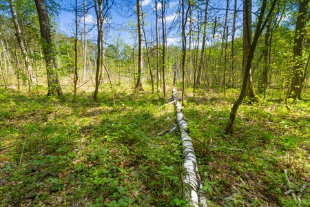 Beautiful landscape with wetlands at springtime. Green wetlands with dead trees trunk photographed in spring. Polish landscape. photo
