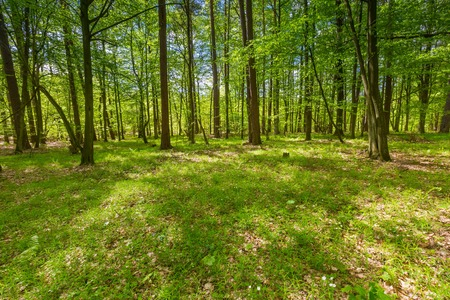 Beautiful green springtime forest landscape. European natural forest with fresh green young leaves. Good weather landscape. Stock Photo