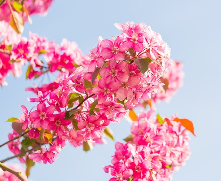 Malus pumila natural lovely pink fragrant spring flowers of malus pumila natural lovely pink fragrant spring flowers of a paradise apple tree in mightylinksfo