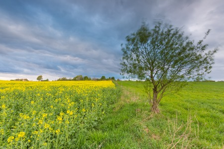cloudy sky: Blooming rapeseed field under cloudy sky. Beautiful agricultural landscape.