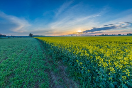 Blooming rapeseed field sunrise. Beautiful agricultural landscape of calm countryside in springtime. Stock Photo