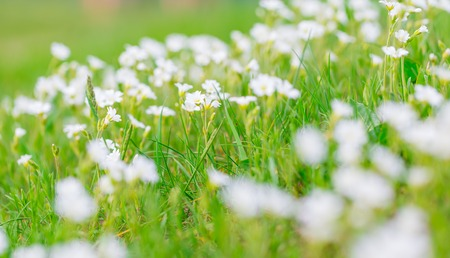chickweed: Blooming white flowers of chickweed in green grass. Nature springtime flowers background.