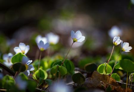 wood sorrel: Hermosas flores peque�as de acedera que florecen en primavera temprana en los bosques. Foto de archivo