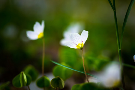 Beautiful small flowers of wood sorrel blooming in early springtime in forests. photo